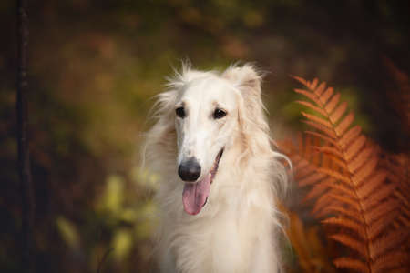 Portrait of beautiful russian borzoi dog in the forest in fall. Close-up image of gorgeous and elegant dog breed russian wolfhound. Orange fern background 写真素材