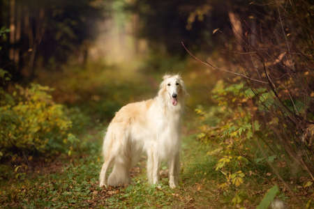 Portrait of happy russian borzoi dog standing in the bright fall forest. Image of beautiful dog breed russian wolfhound in the forest in autumn 写真素材
