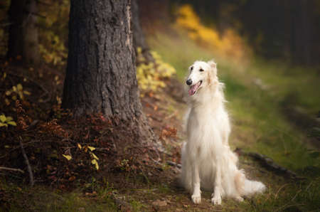 Portrait of happy russian borzoi dog sitting in the bright fall forest. Image of beautiful dog breed russian wolfhound in the forest in autumn 写真素材