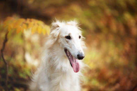 Profile Portrait of beautiful russian borzoi dog in the forest in fall. Close-up image of gorgeous and elegant dog breed russian wolfhound. Orange fern background