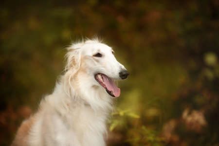 Profile Portrait of beautiful and happy russian borzoi dog in the forest in fall. Close-up image of gorgeous and elegant dog breed russian wolfhound.