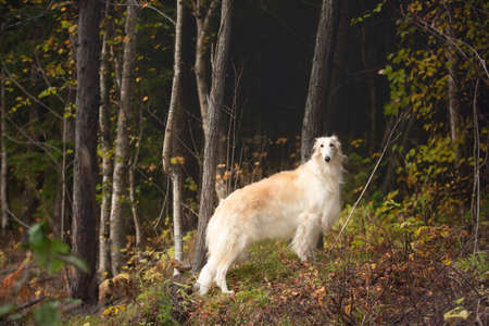 Portrait of gorgeous russian borzoi dog standing in the mysterious dark fall forest. Image of beautiful dog breed russian wolfhound in the forest in autumn