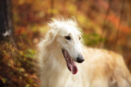 Profile Portrait of beautiful russian borzoi dog in the forest in fall. Close-up image of gorgeous and elegant dog breed russian wolfhound.