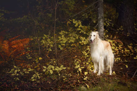 Portrait of gorgeous russian borzoi dog standing in the mysterious dark fall forest. Profile Image of beautiful dog breed russian wolfhound in the forest in autumn