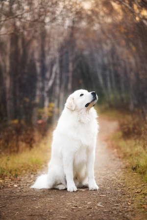Profile Portrait of big beautiful maremma dog sitting in the autumn forest. White fluffy Italian sheepdog