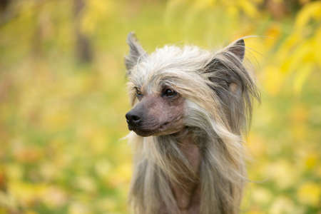 Close-up Portrait of beautiful Chinese crested dog in autumn forest. Profile of Cute hairless Chinese crested dog sitting outside in fall