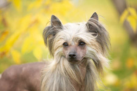 Close-up Portrait of beautiful Chinese crested dog in autumn forest. Cute hairless Chinese crested dog sitting outside in fall 写真素材