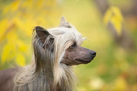 Close-up Portrait of beautiful Chinese crested dog in autumn forest. Gorgeous hairless Chinese crested dog sitting outside in fall 写真素材