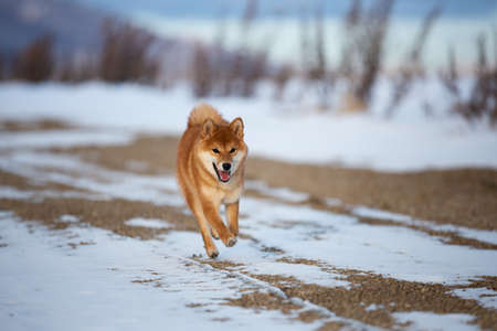 Portrait of cute and funny shiba inu puppy running on the snow in the winter field. Lovely red japanese red shiba inu dog having fun outdoors