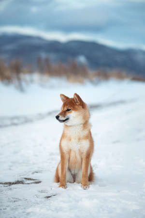 Profile Portrait of adorable red shiba inu dog sitting outdoors at sunset in winter. Beautiful and gorgeous japanese shiba inu puppy sitting in the snow field on mountain background Фото со стока