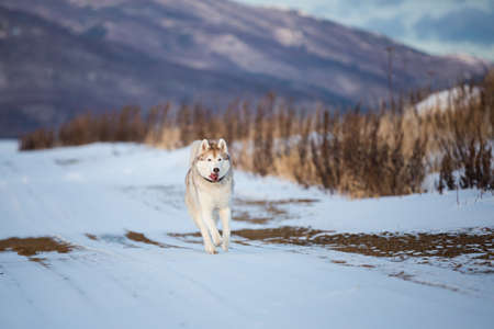Crazy, happy and funny beige and white dog breed siberian husky with tonque out running fast on the snow path in the winter field. husky dog has fun in the meadow on mountain background