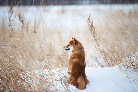 Portrait of cute red shiba inu dog sitting outdoors back to the camera at sunset in winter. Beautiful and gorgeous japanese shiba inu puppy sitting in the snow field Фото со стока