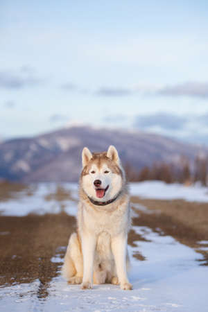Portrait of Beautiful, free and prideful dog breed siberian husky sitting in the snow field in winter at sunset on mountain background Фото со стока