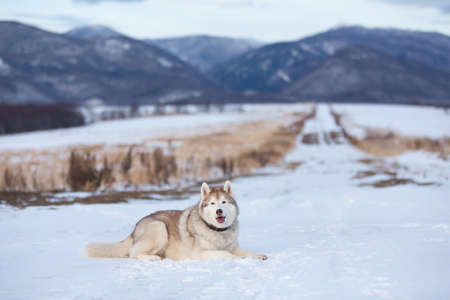 Portrait of Beautiful, free and prideful dog breed siberian husky lying in the snow field in winter at sunset on mountain background Фото со стока