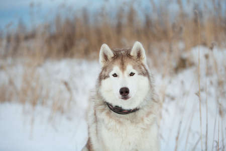 Close-up Portrait of Beautiful, free and prideful dog breed siberian husky sitting in the snow field in winter at sunset Фото со стока
