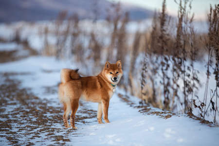 Portrait of cute red shiba inu dog standing outdoors at sunset in winter. Beautiful and gorgeous japanese shiba inu puppy standing in the snow field