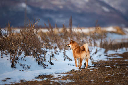 Portrait of cute red shiba inu dog standing outdoors back to the camera at sunset in winter. Beautiful and gorgeous japanese shiba inu puppy standing in the snow field