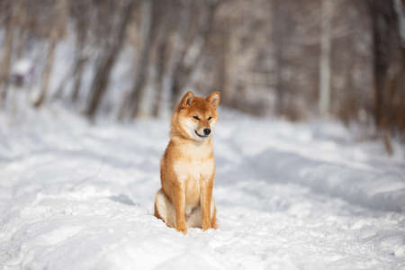 Profile Portrait of cute and happy shiba inu puppy sitting in the forest in winter. Adorable young Japanese shiba inu female dog in the snow