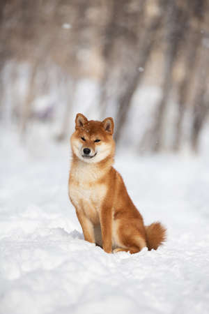 Portrait of cute and happy shiba inu puppy sitting in the forest in winter. Profile image of Adorable young Japanese shiba inu female dog in the snow
