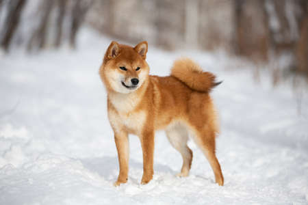 Profile Portrait of cute and happy shiba inu puppy standing in the forest in winter. Beautiful young Japanese shiba inu female dog in the snow