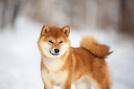 Close-up Portrait of cute and happy shiba inu puppy standing in the forest in winter. Beautiful young Japanese shiba inu female dog in the snow Фото со стока