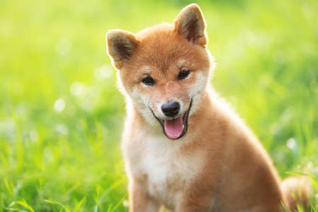 Close-up Portrait of beautiful and happy red shiba inu puppy sitting in the green grass in summer. Cute and lovely japanese red dog posing at sunset. Sunny day Фото со стока