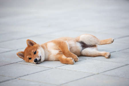 Portrait of Cute shiba inu puppy lying on the pavement and waiting for its owner. Adorable young japanese shiba inu dog lying on the street in the city Фото со стока