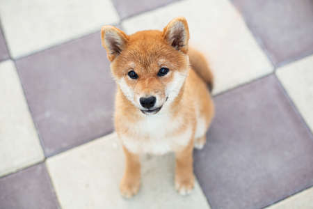 Close-up Portrait of Cute shiba inu puppy sitting on the pavement and waiting for its owner. Adorable young japanese shiba inu dog posing on the street in the city Фото со стока