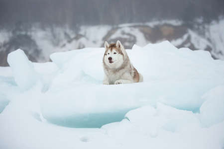 Gorgeous husky dog is lying on the ice floe and looking afar. Portrait of Siberian husky on the snow on the frozen Okhotsk sea and forest background on Sakhalin Island.