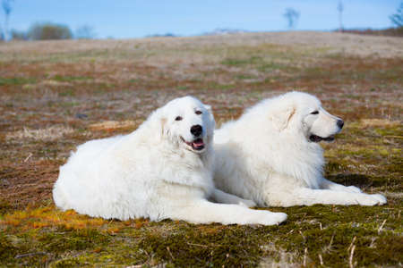 Portrait of two maremma sheepdogs sitting in the summer field. Portrait of two lovely big white dogs breed maremmano-abruzzesse shepherd.