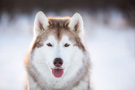 Close-up Portrait of beautiful, happy and free Siberian Husky dog sitting on the snow in the winter enchanting forest at sunset