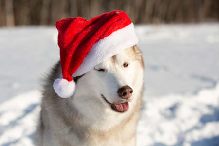 Profile Portrait of cute, funny and happy Siberian Husky dog with closed eyes sitting in the winter fairy forest and wearing red christmas santa claus hat at golden sunset