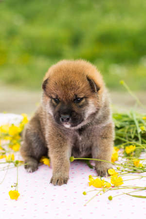 Portrait of cute red two weeks old shiba inu puppy sitting on the table in the buttercup field in summer