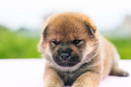 Close-up Portrait of serious and cute red two weeks old shiba inu puppy lying on the table in summer