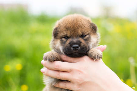Close-up Portrait of cute red two weeks old puppy breed shiba inu in the hands of the owner in the buttercup field Фото со стока