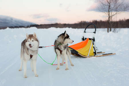 Siberian husky dogs are ready to sledding in winter
