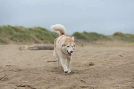 Image of happy and funny Beige and white Siberian Husky dog running on the beach at seaside. One day with cute husky dog on the shore of the sea
