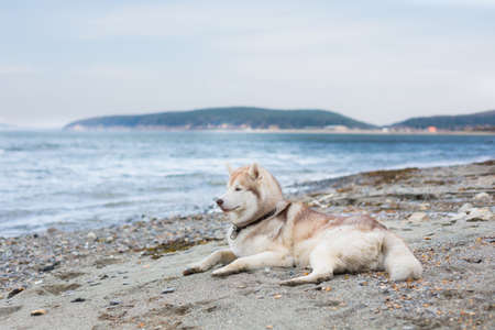 Image of lying Beige and white Siberian Husky dog on the pebble beach on the sea background.