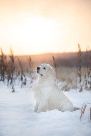 Portrait of beautiful golden retriever dog outdoors in winter at sunset