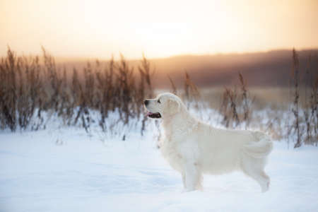 Close-up Portrait of beautiful golden retriever dog standing outdoors in winter at sunset