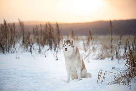 Portrait of gorgeous and beautiful siberian Husky dog sitting in winter field at sunset.