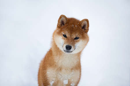 Close-up Portrait of Beautiful and young Shiba Inu Dog in the winter on snow background