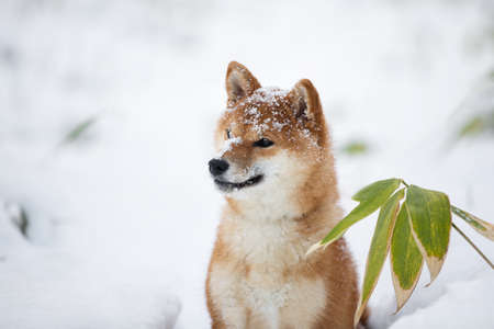 Profile Portrait of Beautiful and young Shiba Inu Dog with snow on its snout in the winter on snow background