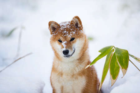 Close-up Portrait of Beautiful and young Shiba Inu Dog with snow on it's snout in the winter on snow background Фото со стока