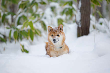 Close-up Portrait of Beautiful and young Shiba Inu Dog lying in the winter forest on snow background