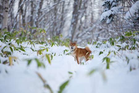 Portrait of Beautiful and young Shiba Inu Dog with snow on it's snout standing in the winter forest on snow background