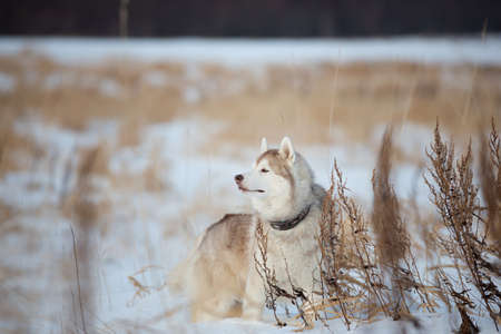 Profile Portrait of Beautiful, free and prideful dog breed siberian husky standing in the snow field in winter at sunset