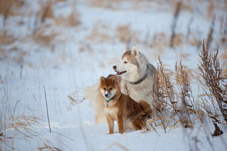 Portrait of Beautiful, free and prideful siberian husky dog and shiba inu puppy sitting in the snow field in winter at sunset