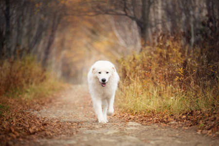 Portrait of big and beautiful white maremma dog running in the enchanted autumn forest Фото со стока
