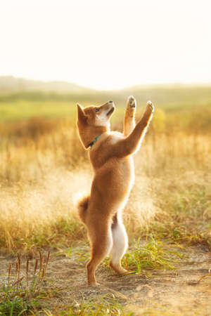 Profile Portrait of Funny red shiba inu puppy jumping in the meadow at golden sunset. Young Japanese shiba inu dog standing on its hind legs